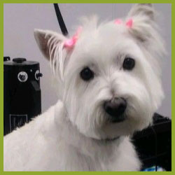 importance of grooming white dog bows